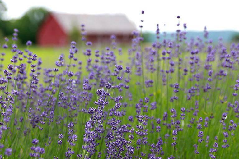 Lavenlair Farm